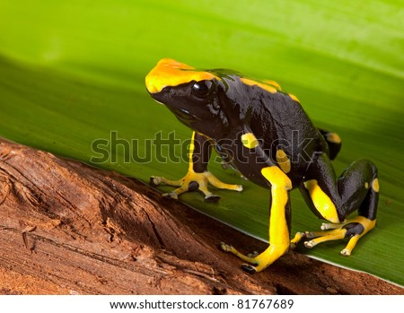 orange and black poison dart frog. Beautiful exotic tropical animal of amazon rain forest. These amphibians are kept as pets in a jungle terrarium. These species are poisonous. - stock photo