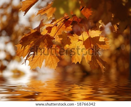 orange and brown autumn maple leaves reflected in water
