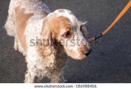 Orange and white roan elderly English Cocker Spaniel being walked on an orange leash - stock photo