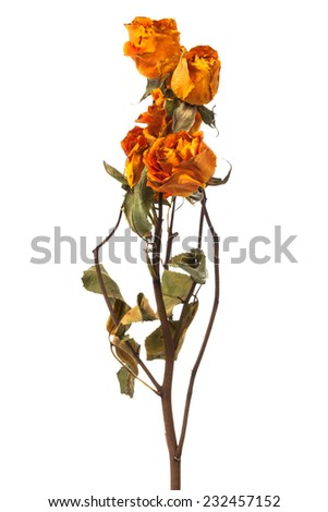 orange and yellow dry roses on a white background - stock photo