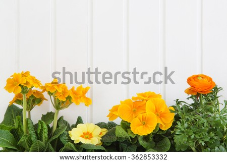 Orange and yellow spring flowers on white wooden background for springtime decoration.
