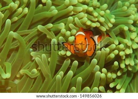 Orange Anemone fish in a green anemone - stock photo