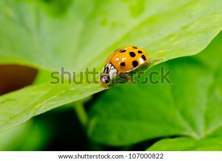 orange asian ladybird in profile - stock photo