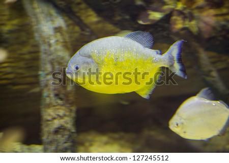 Orange-bellied Piranha, Pygocentrus piraya, captive - stock photo