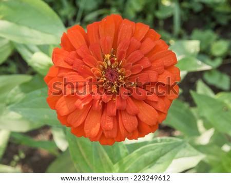 Orange big meadow flower - stock photo