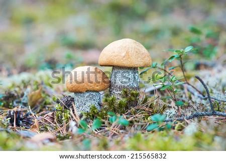 Orange Birch Bolete mushroom (Leccinum versipelle) growing at the forest floor, Sweden  - stock photo