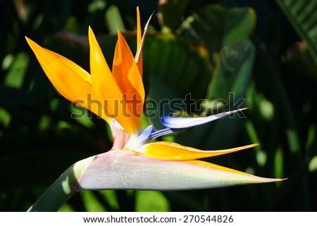 Orange bird of paradise strelitzia flower - stock photo