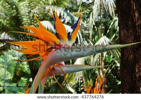 Orange bird of paradise strelitzia flower