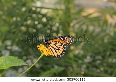 """Orange, black and white """"Monarch Butterfly"""" in Innsbruck, Austria. Its scientific name is Danaus Plexippus, native to North, Central and South America. (No Photoshop) - stock photo"""