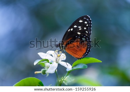 Orange-black colored butterfly sitting on a white flower - stock photo