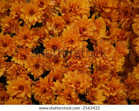 orange blossom - stock photo