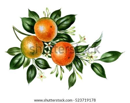 Orange Branch Illustration In Watercolor Botanical