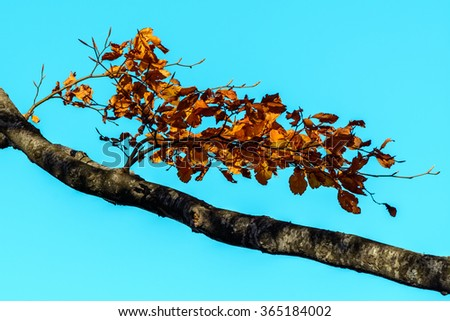 Orange brown leaves with branch in forest. Autumn leaves background, photo of natural background, orange autumnal foliage, trees in the fall over clear sky. - stock photo