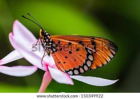 Orange butterfly on pink kopsia flower