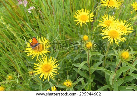 Orange Butterfly On Yellow Arnica Montana - stock photo