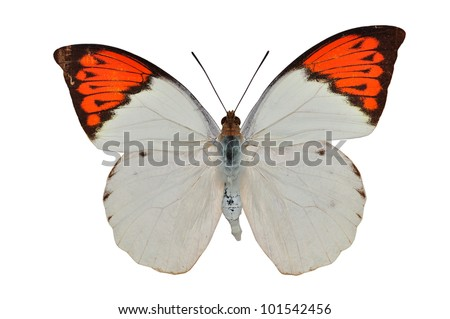 Orange butterfly (The Great Orange) isolated on white background - stock photo