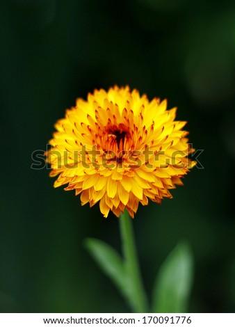 orange calendula flower in the garden - stock photo