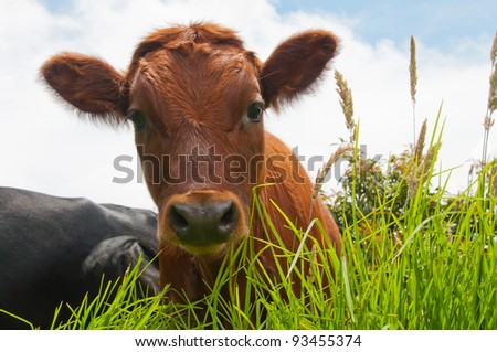 Orange Calf - stock photo