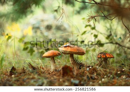 Orange cap bolete mushrooms growing in the green forest - stock photo