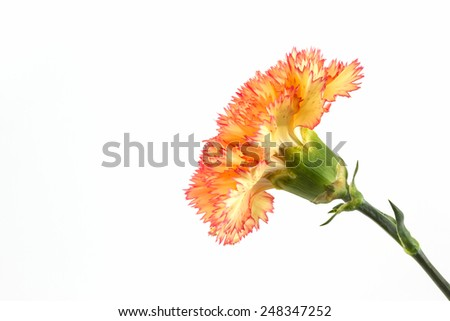 Orange carnation flower isolated on white background. - stock photo