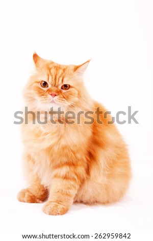 Orange cat / Garfield cat / sitting cat / collar / fur cat / persian cat / fat kitty / fat cat - stock photo
