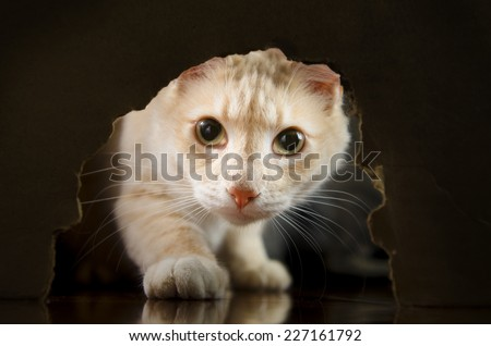Orange cat looking through a ragged hole in the wall looking in the camera with paw outstretched. - stock photo