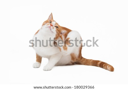 orange cat with an itch - stock photo