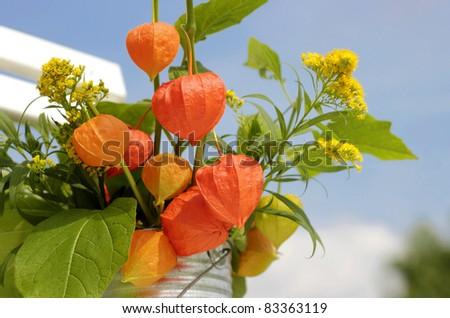 Oriental Lantern Plant Orange Chinese Lantern Plant