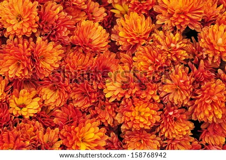 Orange chrysanthemum flowers background - stock photo