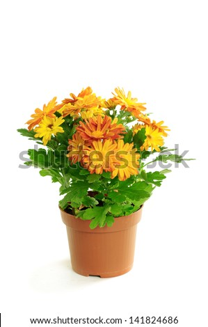 Orange chrysanthemum in a pot isolated on white background - stock photo
