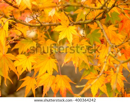 Orange color maple leaves in autumn season, selective focus on some leaves