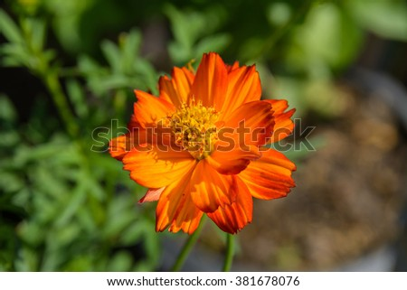 Orange cosmos flower in the field with green background (Cosmos Sulphureus, Klondyke, Sunny Red-Gold-Orang-Yellow, Bright Lights mixed, Cosmos Bipinnatus, Mexican Aster, Cosmea, Compositae) - stock photo