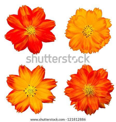 Orange cosmos flower isolated on white - stock photo
