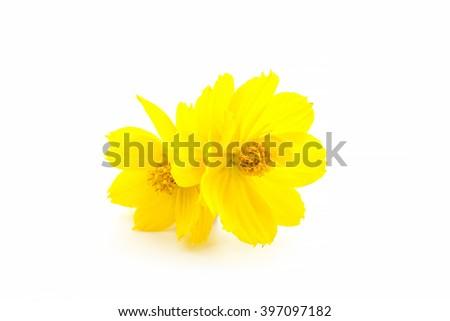 Orange Cosmos flower isolated on white background. - stock photo