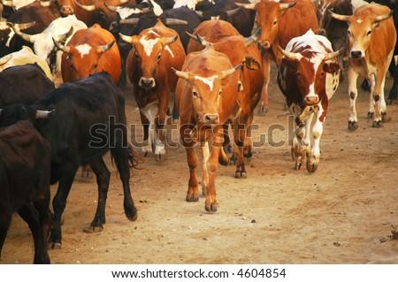 Orange County Fair Corriente Steer Cattle Drive on the beach - stock photo