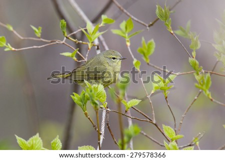 Orange-crowned Warbler (Oreothlypis celata) perched in a tree during spring migration in early May - Grand Bend Ontario, Canada  - stock photo