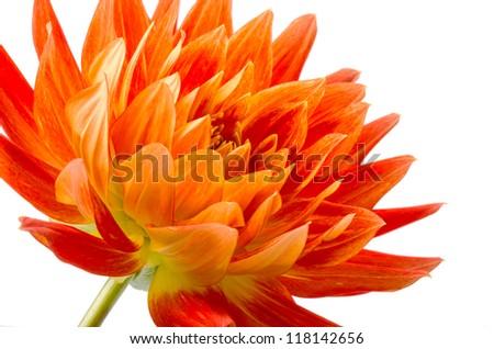 Orange dahlia isolated on white background - stock photo