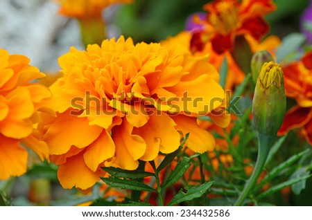 Orange daisy, close-up - stock photo