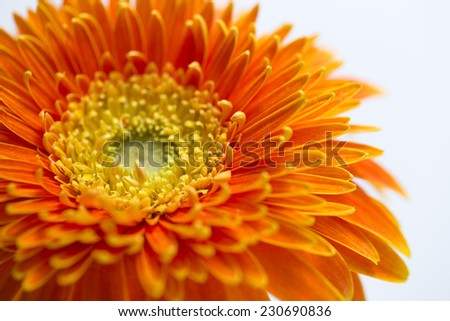 Orange daisy on white background