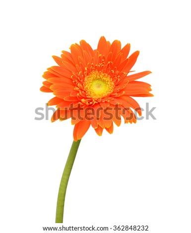 Orange daisy with long stem on white background - stock photo