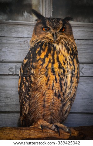orange eagle owl - stock photo