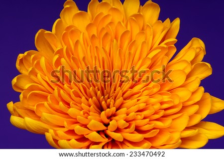 Orange flower closeup isolated over a purple background - stock photo
