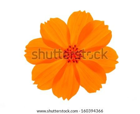 orange flower ( Cosmos flower ) on white background - stock photo