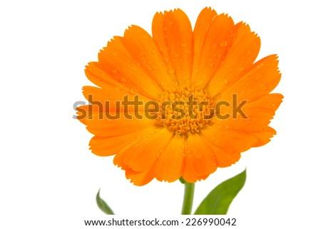 Orange flower of calendula isolated on white - stock photo