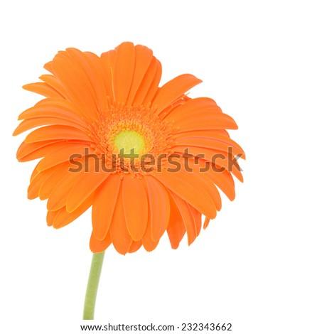 Orange flower of gerber - stock photo