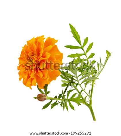 orange flower of marigold isolated on white, Latin name Tagetes - stock photo