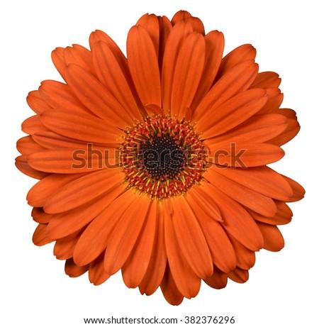Orange flower on isolated background - stock photo