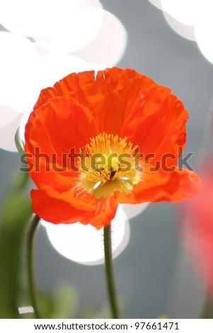 Orange flower poppy, close up shot - stock photo