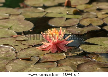 Orange flower water lilies on a pond (Nymphaea Sioux). - stock photo