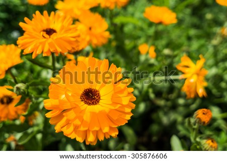 Orange flowers in nature, close up view - stock photo